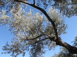 Olive tree, Mount of Olives, Jerusalem